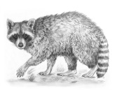 "Raccoon (Procyon lotor). Graphite on Bristol paper. 2017. 11"" x 14""."