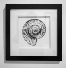 "Ammonite Fossil (2:1 Perisphinctes sp.). 2018. India ink on paper. 8"" x 8"""